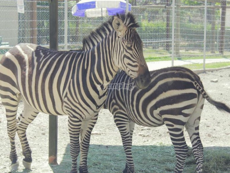Look closely at these beautiful zebras