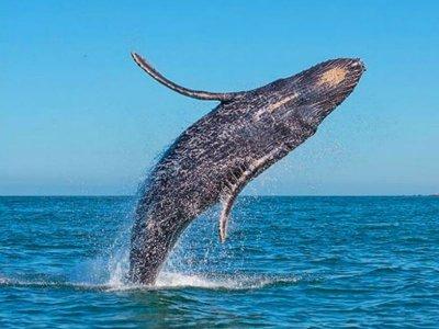 Avistamiento de Ballenas en Cabo San Lucas 1.5 hrs
