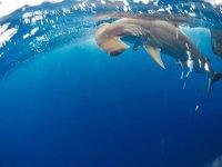 Mira a los tiburones martillo