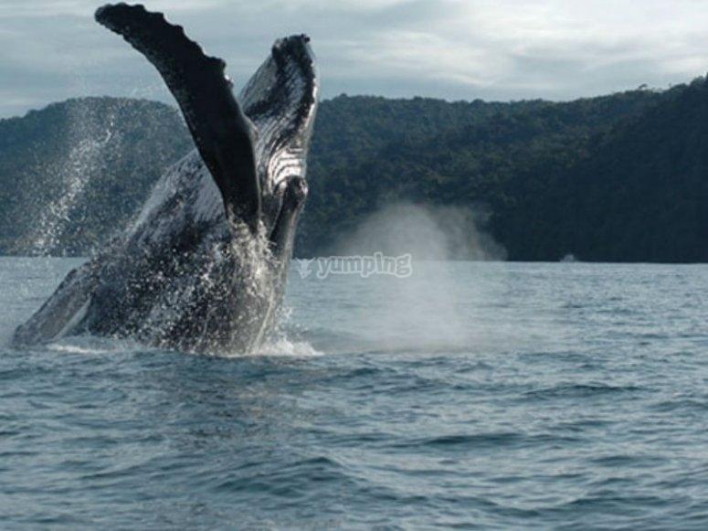 Increíble ver a las ballenas saltar y jugar
