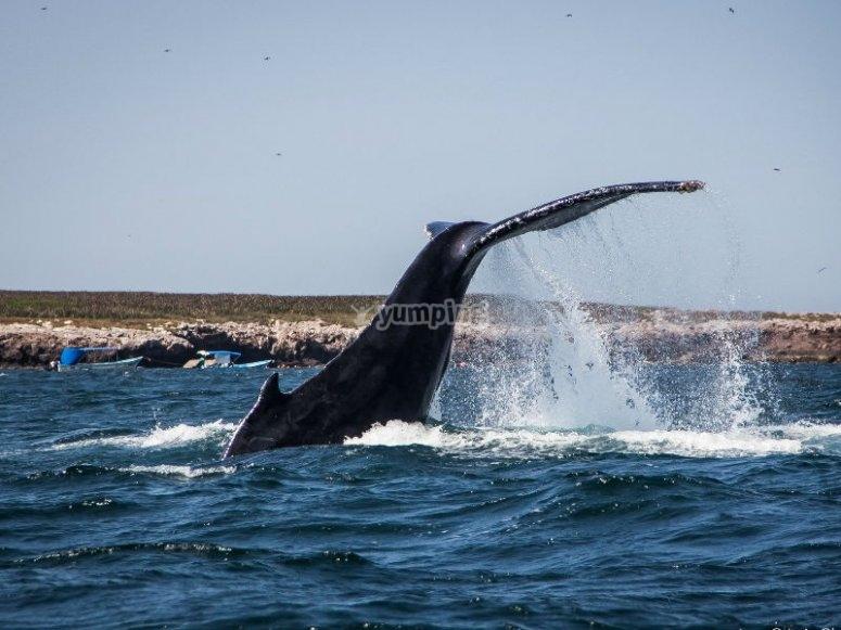 Observa a las ballenas en su hábitat natural