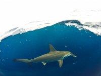 Hammerhead shark in snorkeling