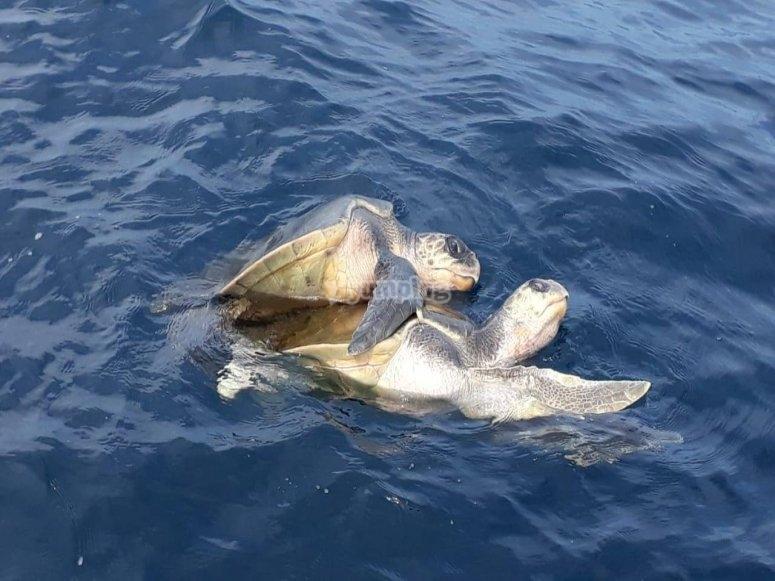 Turtles in Puerto Angelito