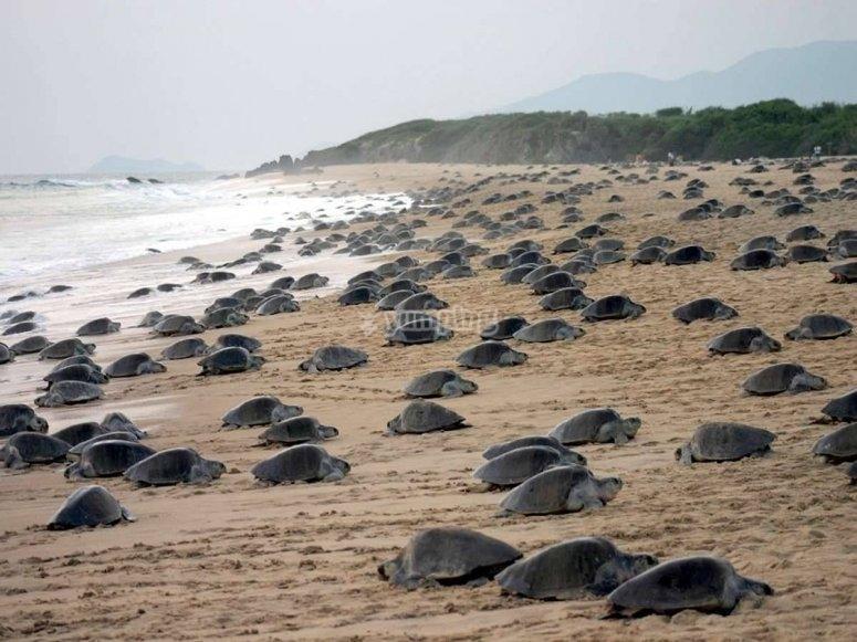 Ayuda a las tortugas marinas en su travesía.