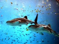 Whale shark with the remoras