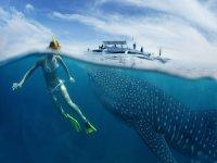 Haz snorkel con tiburones ballena