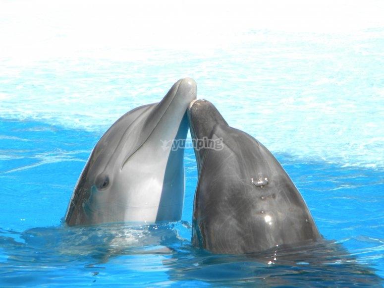 beso de delfines