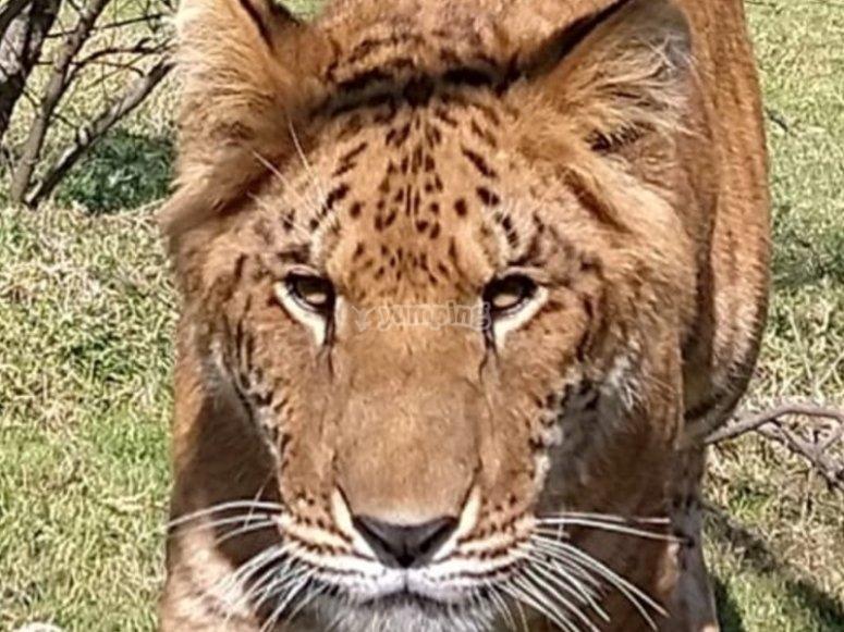 Meet the liger