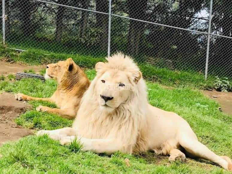 Watching the lions
