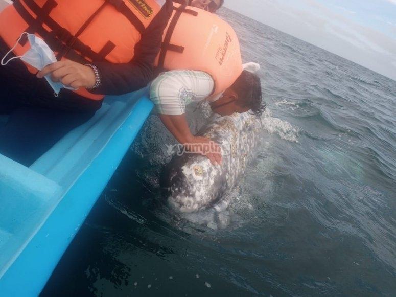 Navegan en lancha hasta las ballenas azules