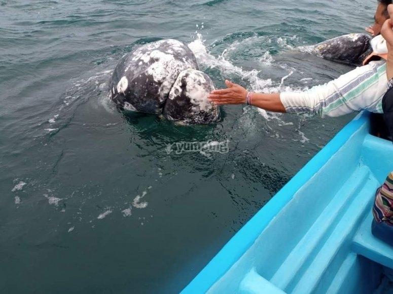 Acaricia a las majestuosas ballenas