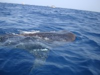 Visit peace and meet the whale shark