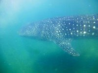swimming with the whale shark