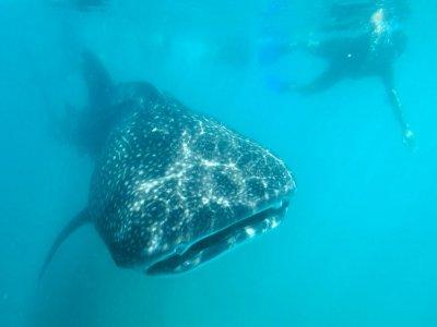 Cabo Expeditions Nado con Tiburón Ballena