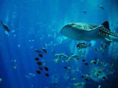 Solatino Nado con Tiburón Ballena
