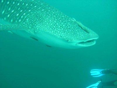 Aqua los cabos Nado con Tiburón Ballena