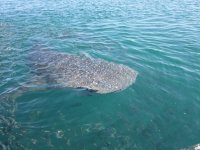 Take your picture of the whale shark