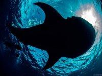 Nada con el tiburón ballena