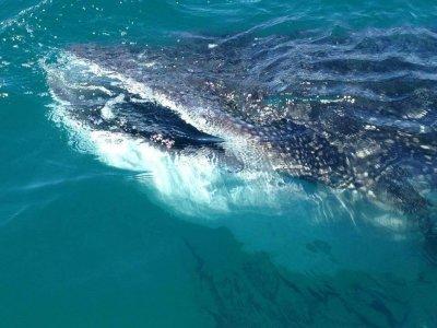 Paseos Turísticos Anayansi Nado con Tiburón Ballena