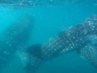 Surrounded by whale sharks