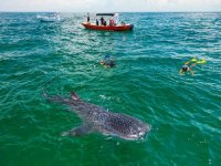 whale sharks in the caribbean
