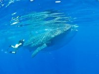 Snorkel with the whale shark