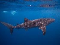 Conoce al tiburón ballena