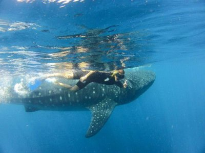 Mexico Maya Caribe Nado con Tiburón Ballena