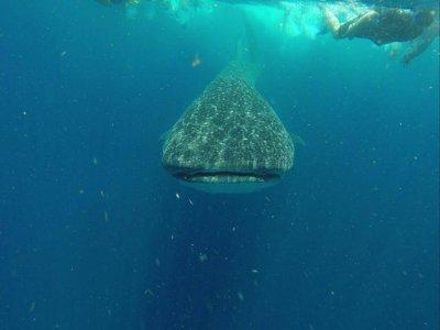 Island Adventures México Nado con Tiburón Ballena