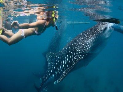 Ensenada Tours Nado con Tiburón Ballena