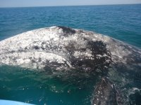 Touch the gray whale