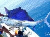 Gran pez vela.
