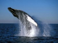 Humpback whales in cay