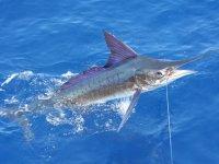 Marlin en el anzuelo