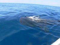 El nado con el tiburon ballena