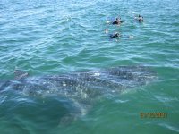 Snorkel with whales