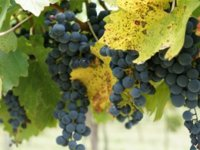 Tour the grape fields