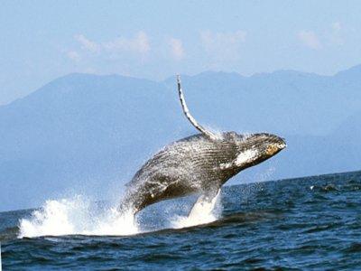 Puerto Vallarta Yates Whale Watching