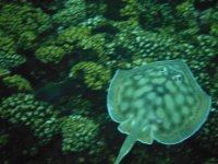 Discover the manta rays