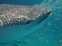 Snorkel junto al tiburon ballena