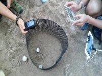 Meet the turtle eggs