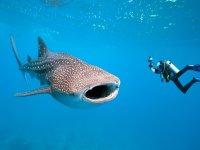 Experiencia con tiburones ballena