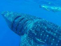Tiburón ballena en Cabo San Lucas