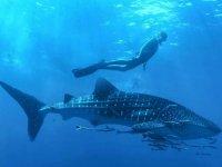 Snorkeling con tiburón