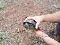 Una tortuga despistada