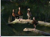 Patos silvestres