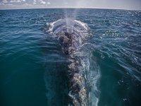 Mira las dimensiones de la ballena