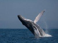 Mira la ballena gris