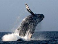 Salto de la ballena gris