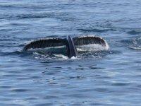 Ballena sumergida en el mar